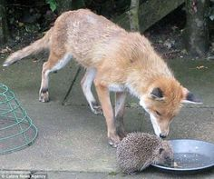Fox & hedge hog share a drink. I think the hedge hog should run...