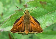 Large Skipper (upperwing)