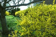 Backyard Garden With Yellow Forsythia Shrubs : Fast Growing Shrubs For Your Garden
