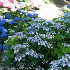 Mountain Hydrangea Tiny Tuff Stuff™ is tough enough to take on winter's cold, but its delicate and lacy lavender-purple flowers lend a refined sense to a garden setting. Easy to grow, Tiny Tough Stuff is perfect for smaller areas, borders, and makes a lovely focal point as well. With plentiful, non-stop lacecap flowers, you are guaranteed a special addition to your gardenscape. (Hydrangea serrata)