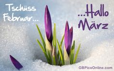 Spring will be soon. Crocus is coming up through the snow March Images, Hello March, Bouquet, Spring Sign, Spring Is Coming, All Things Purple, Nice Things, Spring Has Sprung, Flower Pictures