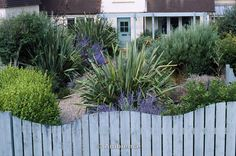 Seaside garden - front garden with blue wooden Wave Shaped fence with Perovskia and Phormium Tenax Variegatum.