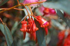 Eucalyptus torquata Flower Buds