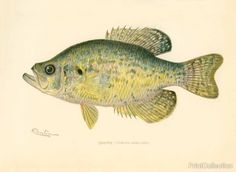 This chromolithograph of a Crappie (Pomoxis Annularus) was created byåÊartist S. F. Denton (Sherman Foote) born in 1856 and died in 1937 Well known for his exquisite drawings of fish, birds, and mamma