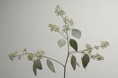seeded eucalyptus leaves - Google Search