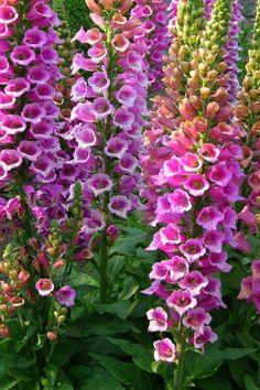 Digitalis purpurea 'Candy Mountain' (foxglove)