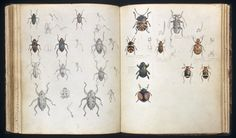 Drawings of beetles by Henry Walter Bates (1825 - 1892) Manuscript ink notes, watercolour and pencil drawings, c1851 - 1859.