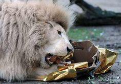 Animales reciben paquetes llenos de comida o golosinas y envueltos como un regalo de Navidad en el zoológico de La Flèche, Francia, el 23 de diciembre de 2013.  (AFP / JEAN-FRANCOIS MONIER)Clarin.com HD