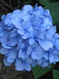 Amazing blue of the reblooming hydrangea http://www.MervEdinger.com Adds color to a shady corner