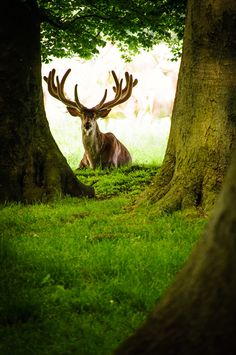 """.A deer bull sitting between the trees and thiking """"who is that funny guy with the camera?"""""""