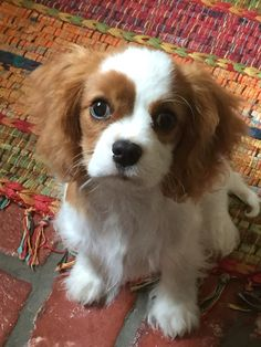 Cooper-my sweet little boy Cavalier King Charles Spaniel, Cavalier King Charles, Spaniel Puppies, Pet Id, Tier Fotos, Puppys, Farm Life, Adorable Animals, Small Dogs