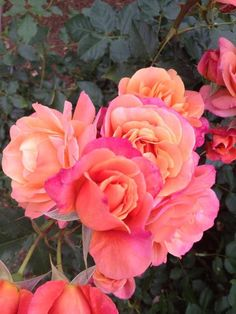 orange and pink roses