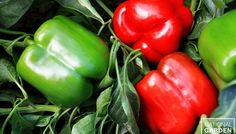 Pepper Majestic Red F1 Majestic Red sets a new standard for home garden bell peppers. The huge, smooth fruit mature to a bright red, have a thick wall, and crunchy texture.