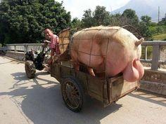 Quand on entend couiner l'cochon c'est qu'ça touche vain diou ! Que pensez-vous de cette image drole insolite ?