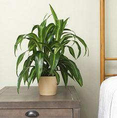 Dracaena deremensis 'Hawaiian Sunshine'