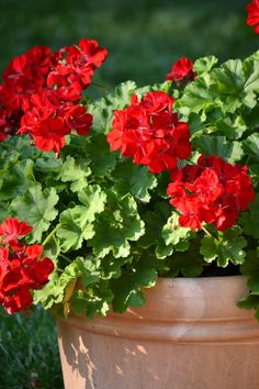 Red Geraniums | Rome, Italy