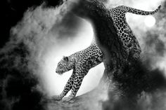 Cheetah - cheetah, animal, africa, wildlife, wild, cat, safari, nature, predator, savannah, spots, leopard, illustration, carnivore, feline, vector, mammal, fast, african, skin, speed, seamless, jaguar, pattern, hunter, print, black, fur, repeat, abstract, exotic, running, camouflage, texture, background, fashion, brown, panther, hunting, decor, leather, young, dangerous, design, fauna, quick, textile, wallpaper, silhouette, fabric
