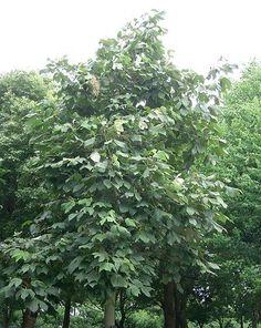 Magnolio grandiflora buscar con google clementina - Cuidados del magnolio ...