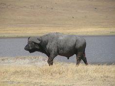 Na Cratera de Ngorongoro, animais em vias de extinção podem ser vistos. Aqui, em belo exemplar do búfalo africano. A abundância de alimento nesta reserva contribui para sua grande biodiversidade.
