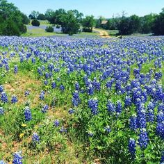 # Texas Hill Country, Blue Bonnets, Flower Power, Vineyard, Flowers, Plants, Pictures, Outdoor, Photos