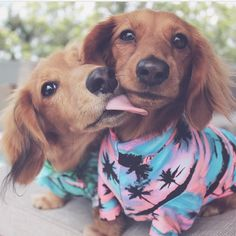 Some puppies in jumpsuits // Just because // : @river_the_mini_dachshund
