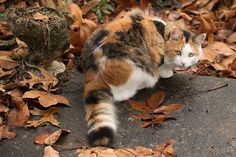 Calico cat in leaves.