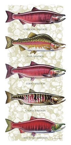 5 kinds of salmon