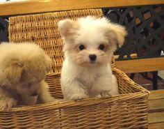 Poodle・Pomeranian / Mix