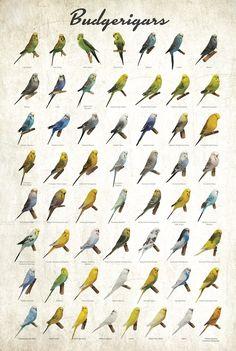 Budgerigar Colors Poster | budgerigar