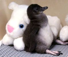 A two-week-old Little Penguin rests against a stuffed animal in an incubator at the Cincinnati Zoo. Little Penguins are found along the coastlines of southern Australia and New Zealand. So Cute Baby, Cute Baby Penguin, Happy Penguin, Cute Animal Photos, Animal Pictures, Cute Pictures, Penguin Pictures, Amazing Pictures, Baby Animals