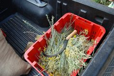 "Corsica-Helichrysum being harvested  THE BEST ""IMMORTELLE"""