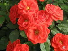 Known for their petite size and flowers, miniature roses are usually less than two feet in height and their flowers resemble those of hybrid tea roses. Orange Roses, Shrub Roses, Plant Life, Flowers, Hybrid Tea Roses, Bloom, Shrubs, Plants, Xeriscape