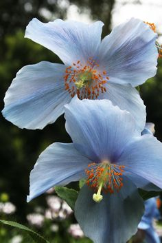 Himalayan blue poppy- Meconopsis betonicifolia