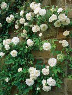 Vigorous Iceberg Climbing Rose is Sweetly Scented             - Rosa, Climbing Iceberg, is a fast growing climber with glossy light green foliage and large clusters of fragrant, double white flowers.