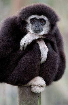 'Just Sitting' A Gibbon wonders what to do next