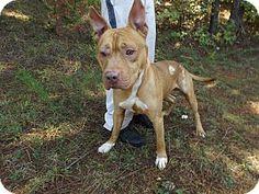 ★11/11/15 SL★-HEART STICK FACILITY - Rome, GA - Pit Bull Terrier/Bulldog Mix. Meet 15D-1508, a dog for adoption. http://www.adoptapet.com/pet/14078469-rome-georgia-pit-bull-terrier-mix