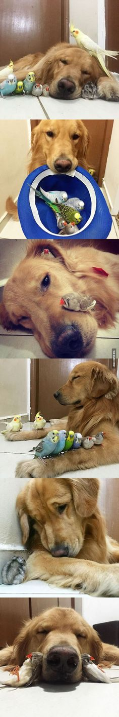 This Golden Retriever Is The Leader Of His Gang. 8 Birds And A Hamster Are The Other Members! - Barmy Pets