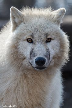 Arctic Wolf (Canis lupus arctos) on Flickr.  by Mladen Janjetovic