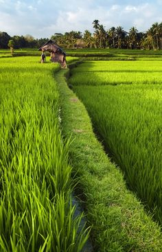 № ~ stock photo : Rice field in early stage at Ubud, Bali, Indonesia. Coconut tree and hut at background. Village Photography, Landscape Photography, Nature Photography, Travel Photography, Bali Lombok, Beautiful Islands, Beautiful Places, Places To Travel, Places To See