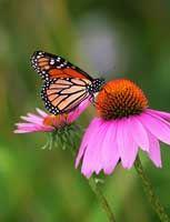 Purple Cone Flower sand Monarch butterfly