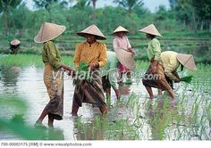 Rice Paddy Hat | people rice rice paddy southeast asia southeast asian standing water ...