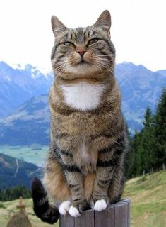 Colorpoint Shorthair In our list of cat breeds, there is a race that is very similar to the Siamese cat, except for its color, which emerged in Englan… Cool Cats, Cute Cats And Dogs, Animals And Pets, Cats And Kittens, Funny Animals, Cute Animals, Pretty Cats, Beautiful Cats, Kitten Care