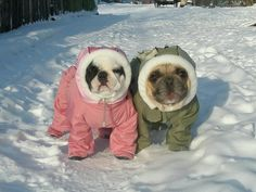 french bulldogs winter