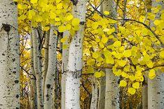 """""""quakers"""" in Calgary CA  Aspens At Autumn"""