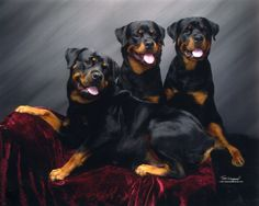 The traits we admire about the Confident Rottweiler Dog Big Dogs, I Love Dogs, Cute Dogs, Dogs And Puppies, Doggies, Dogs 101, Awesome Dogs, Rottweiler Love, Rottweiler Puppies