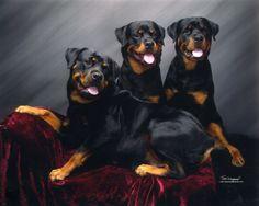Beautiful #Rotties!