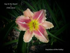 This seedling is Key to My Heart x Chili Spice. I had several seeds from this cross and they all turned out so different. This one is so cool.  http://www.facebook.com/pages/Daylilies-of-the-Valley/198640120151443