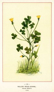 yellow wood sorrel (oxalis stricta),from Wild Flowers of America, published July 17, 1894.
