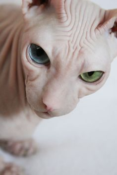 Sphynx -- An odd eyed white too. Pretty Cats, Beautiful Cats, Animals Beautiful, I Love Cats, Crazy Cats, Cool Cats, Funny Animal Pictures, Funny Animals, Cute Animals