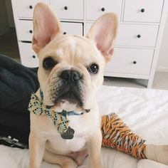 French Bulldog Puppy, via Batpig & Me Tumble It